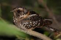 Nightjar Walk