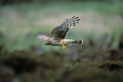 Hen Harrier Carnival at The Alnwick Garden