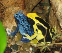 Dodolings - poison frogs