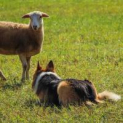 St Dogmaels Sheepdog Trials