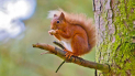 Red Squirrel Walks on Brownsea Island