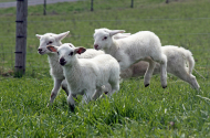 See the Spring Lambs
