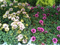 £3.49 each or 4 FOR £10 Osteospermum (single pots)