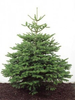 Save £5 on your Large Real Christmas Tree