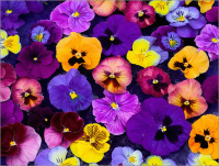 Pansies or Violas 4 packs for £10