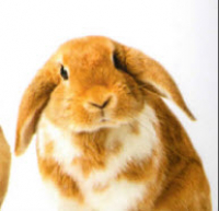 Free vaccinations for your rabbit - Conanvet Healthcare Plan