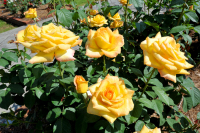 Selected ROSES buy one get one FREE!  at Farmyard Nurseries