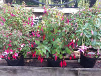 Hardy Fuchsias available at Farmyard Nurseries now only £3.99 each!