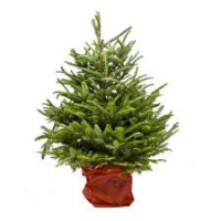 FREE DELIVERY OF CHRISTMAS TREES IN WALSALL