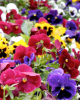Pansies & Violas 4 trays for £12