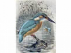Kingfishers of West Moors