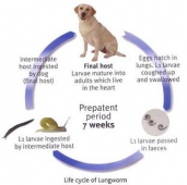 LUNGWORM IN DOGS (A. vasorum)