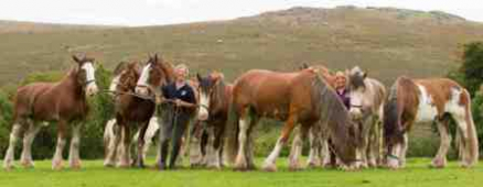 Feathers fly as Clydesdales race on Devon Day. Sunday 24  November