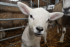 2014 Spring Lambing Day Event near Shrewsbury