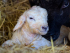 Lambing Days - Sparsholt College