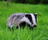 Badgers Now & the Future