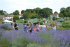 Carshalton Lavender Open Weekend