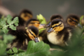 Downy Duckling Week at The WWT, Llanelli