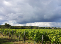 Pre-harvest tour and tasting at Warden Abbey Vineyard