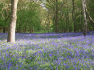 Annual Bluebell Walk at Whatcote