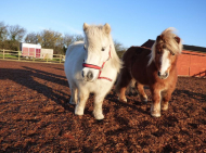 We Love Ponies at Redwings Ada Cole
