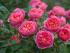 English Rose Talk at Squire's Garden Centre - Milford Only