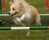 International Dog Agility Festival