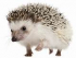 Humans and Hedgehogs through our times from 25,00 BC to present