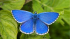 Have you seen the Adonis Blue Butterfly