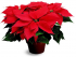 Helping Your Christmas Poinsettias Last til Spring!