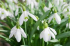See the snowdrops in Cound
