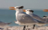 Media Release – Nesting Terns Around Northern Beaches