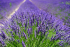 Lavender Fields open to the public