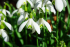 Snowdrop Season in Shrewsbury