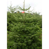 Where to buy real Christmas trees in Telford