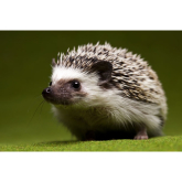 Local Wildlife charity braces for 'hedgehog tsunami'