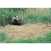 Fascinating Facts about Badgers