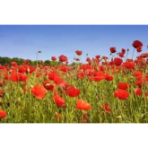 Turn Beacon Park into a field of poppies!