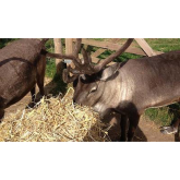 Meet 'Jingle and Bell' – the reindeers coming to a Charlton Kings Christmas!
