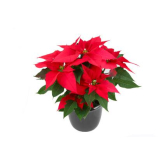 Celebrate Poinsettia Day by visiting Westwells Florist, Bolton