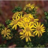 Ragwort Threat?