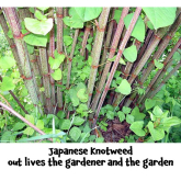 Japanese Knotweed – a problem for owners, sellers and buyers alike @TWMSolicitors unravel the legal knot for you