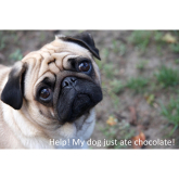 What should I do if my dog eats chocolate this Festive Period?