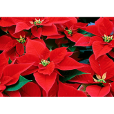 Caring for your Christmas Poinsettia