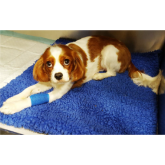 Pet of the Month - Alfie the Cavalier King Charles Spaniel