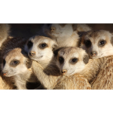 The meerkats attraction in Wicksteed Park Kettering will be open for day of EU referendum.