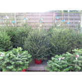 Where To Buy Christmas Trees in Market Harborough.