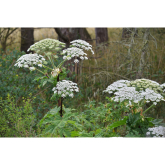 Giant hogweed and what you need to know