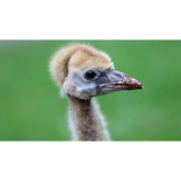 Walking tall – how to exercise your crane chicks