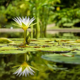 Pond plants - The solution to algae problem and beautification of your water garden
